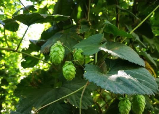 El 40% del lúpulo producido en El Bolsón se usa en cervezas artesanales